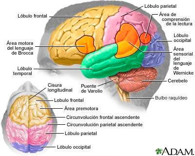 (Fig.17) Parts del cervell del hemisferi.