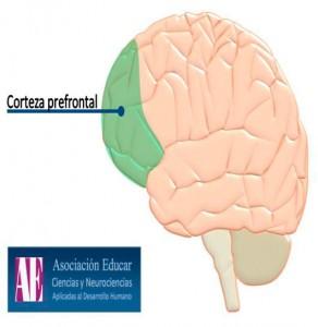 (Fig. 18.) Situació de l'escorça prefrontal esquerre.